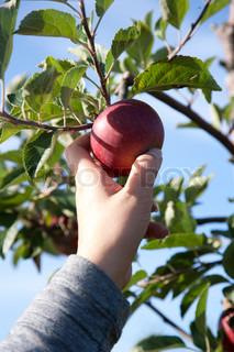 Hand of an apple picker