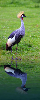Grey Crowned Crane with reflection in the water