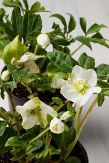 Christmas rose flower for decoration