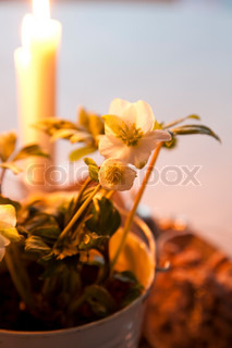 Christmas rose and candles for decoration