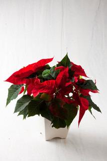 Røde julestjerner i en hvid krukke