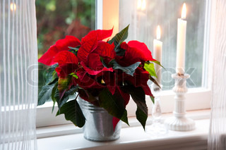 Poinsettia flowers for window decoration