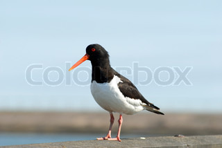 Oystercatcher close-up and alone