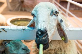 Goat is eating the lentil