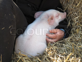 Cute piggy taking comfort in the arms of a child.