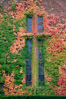 Virginia Creeper at chapel wall in autumn colors.