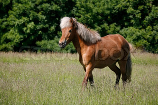 Nice brown mare in a Danish meadow.