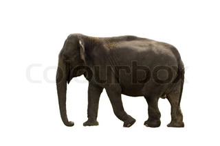 Indian Elephant isolated on white