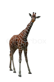 Giraffe isolated on white
