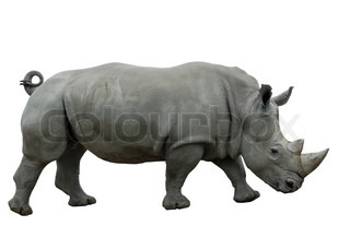 Female White Rhinoceros isolated on white