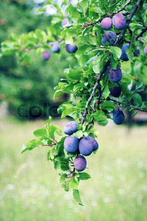 Plum tree branch with blue plum fruit