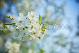 small branch of cherry tree on blurred background