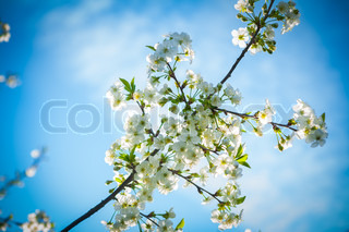 blossoming branch of cherry tree on background of sky