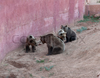 Brown bears in zoo photo. Animal family with cubs.