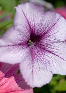 Billede af 'petunia, Blossom, plante'