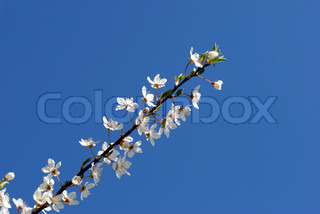 Cherry blossom close-up. White flowers all over and sky blue.
