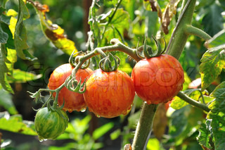 Branch of striped tomatoes