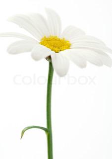 Billede af 'stilk, marguerite, blomster'