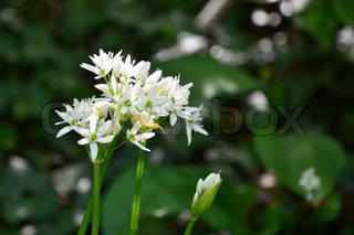 Wild white flowers against deep green foliage