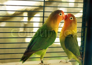 Side view of two Parakeets in love