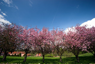 blühende Kirschbäume können in himmelblau.