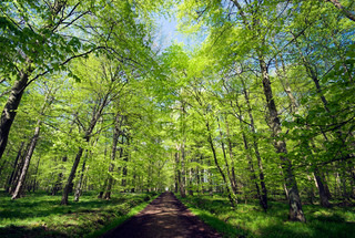 Danish springtime light green forest