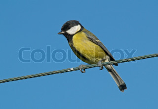 great tit against a blue sky