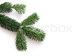Pine branch on white background