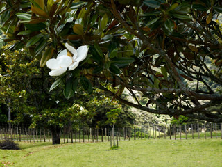 Magnoliatrees in the countryside west of Auckland, NZ