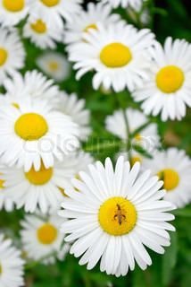Young blooming chamomile in a summer field