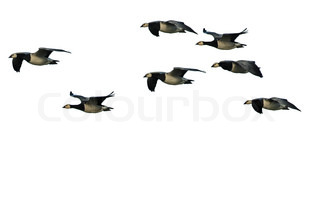 barnacle geese on the fly, isolated on white