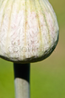 Nærbillede af en Allium bud