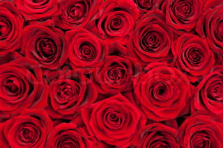 Close-up of beautiful red roses