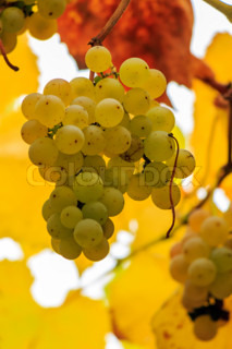 yellow grapes on vine leaves background