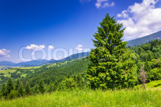 mountain coniferous forest in good  summer weather