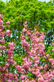 flowers on the branches of cherry blossom against a green tree crown