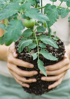 Billede af 'planter, tomatplante, close-'