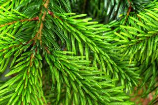 Billede af 'close-up, fyrretræ, closeup'