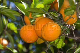 Billede af 'landbruget, frugthave, spanien'