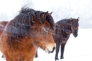 Horses in snow on a gray day