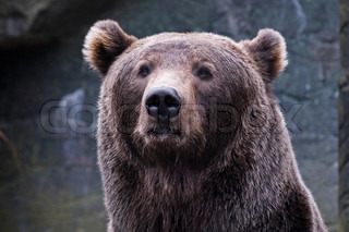 European Brown bear (Ursus actor)