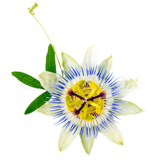 beautiful closeup of green passionflower branch and flower head is isolated on white background