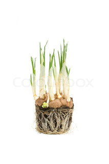 Roots from a growing crocus flower isolated on white.