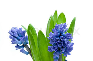 Close-up of hyacinths. Isolated on white.