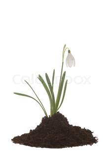 Billede af 'blomst, vintergæk, den'