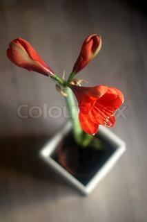Billede af 'amaryllis, Amaryllis, Plant'