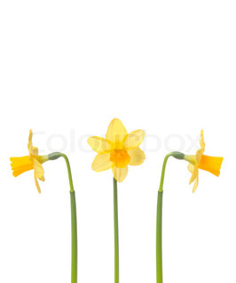Billede af 'påskelilje, skåret ud, blomstre'