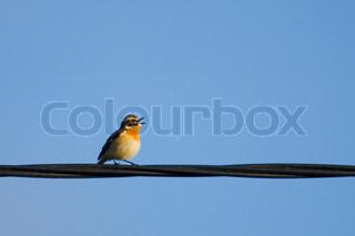 Bild von 'Singvogel, Singen, Barsch'