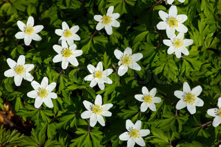 green, nemorosa, white, wood, forest, nature, anemone, plant, background, flower, yellow, beautiful, lots, windflower, petal, spring, bloom, blooming, small, star-shaped, star, sweet, little, many, leaf, group, grow, season, outside, outdoors, windflowers