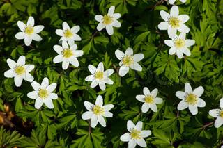 Billede af 'anemone, årstider, udendørs'